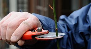 Comment et pourquoi tailler vos rosiers? Pour tout savoir, rendez-vous avec les jardiniers de la Roseraie (L'Haÿ-les-Roses) le samedi 17 février.