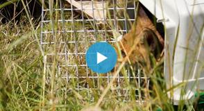 Treize renardeaux, ayant grandi au centre d'accueil du CEDAF, ont été relâchés au parc départemental des Marmousets à la Queue-en-Brie