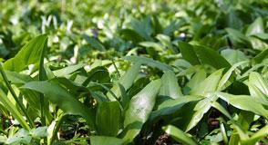 Comestibles, médicinales, ornementales… Dimanche 7 avril à Pontault-Combault, venez découvrir les nombreuses vertus des plantes de l'Arc boisé!