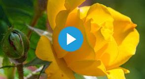 Samedi 7 septembre, à partir de 9h, les jardiniers de la Roseraie vous initieront aux bases du bouturage et du greffage de roses.