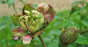 Samedi 13 mai, rendez-vous à la roseraie pour une visite technique et un atelier botanique